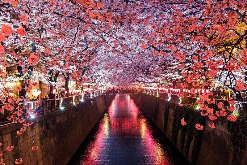 05 Cherry Blossom 800W